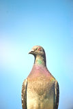 Wild bird. Flighting wild bird on sky near samall lake royalty free stock image