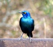 Wild bird. Beautiful wild bird at Addo Game Park Stock Photos