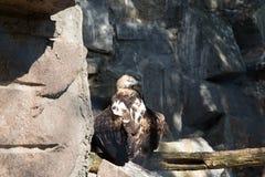 Wild bird Black griffon (black vulture) Stock Image