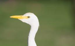 Wild Bird Cattle Egret Oahu Haiwaii Native Animal Wildlife Royalty Free Stock Photography