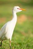 Wild Bird Cattle Egret Oahu Haiwaii Native Animal Wildlife Royalty Free Stock Images