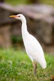 Wild Bird Cattle Egret Oahu Hawaii Native Animal Wildlife Stock Photography