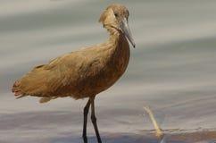 Wild bird close to the lake in Ethiopia, February 2019 stock image