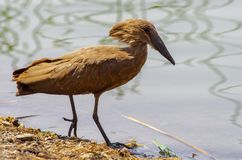 Wild bird close to the lake in Ethiopia, February 2019 royalty free stock images