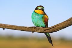 Wild bird with colorful plumage sits on a dry branch Stock Photo