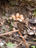 Wild bird eggs lie in a nest on a background of dry leaves Royalty Free Stock Photo