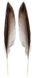 Wild bird feather isolated on white - both sides Royalty Free Stock Photography