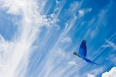Wild bird in flight against vivid blue sk Royalty Free Stock Photography