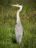 Wild bird - gray heron standing at green grass. Nature animal background Stock Image