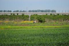 Wild bird on a green filed. Near highway, summer Royalty Free Stock Photos