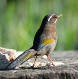 Wild bird on ground Stock Photography
