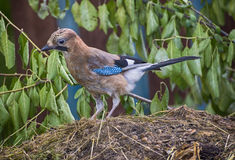 Wild bird. The wild bird a jay looks for a forage Stock Images