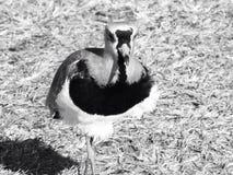 Wild bird. A lovely and beautiful wild bird Royalty Free Stock Image