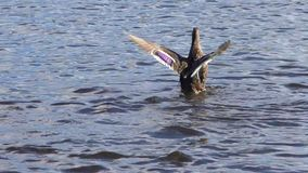The duck flaps its wings. Wild bird in a natural environment stock video