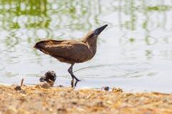 Wild bird close to the lake in Ethiopia, February 2019 royalty free stock photo