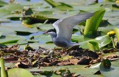 Wild bird on the nest Royalty Free Stock Photos
