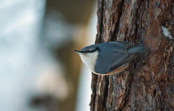 Wild bird nuthatch in winter forest. Stock Image