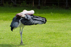 Wild bird Painted stork on green grass Royalty Free Stock Image