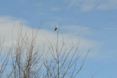 Wild bird perch on tree top branch. A winter landscape image of bird in a tree stock images