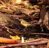 Wild bird phylloscopus on the wet organic soil Royalty Free Stock Images