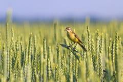 Wild bird sitting on a spike of wheat. Wildlife Royalty Free Stock Image