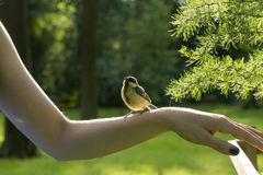 Wild bird titmouse, tomtit, chickadee with yellow feathers sits. Wild bird tit, titmouse, tomtit, chickade with yellow feathers sits on the girl`s hand in the stock photography