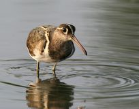 Wild bird  in water Stock Image
