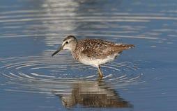 Wild bird  in water Royalty Free Stock Photos