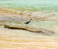 A wild bird in the windward islands Stock Image