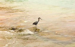 A wild bird in the windward islands Royalty Free Stock Images