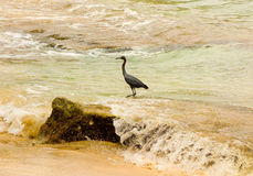 A wild bird in the windward islands Stock Images