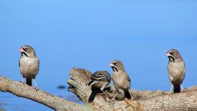 Wild Birds from Africa - Scaly-faced Finch Family Portrait Royalty Free Stock Photo