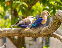 Wild Birds. Colorful birds sitting on a branch Royalty Free Stock Images