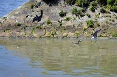 Wild birds on the Douro river Stock Image