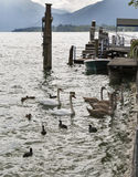 Wild birds feeding on Alpine lake Mondsee, Austria Royalty Free Stock Image