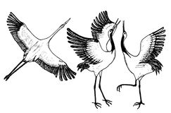 Wild birds in flight. Animals in nature or in the sky. Cranes or Grus and stork or shadoof and Ciconia with wings. Engraved sketch hand drawn in vintage style Royalty Free Stock Photos
