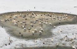 Wild birds on frozen Vistula river in Krakow, Poland. stock photo