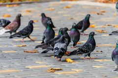 Wild birds gray pigeons walk on the pavement covered with yellow Royalty Free Stock Photography
