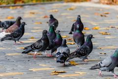 Wild birds gray pigeons walk on the pavement covered with yellow Stock Photo
