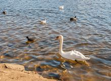 Wild birds on the lake Stock Photos