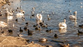 Wild birds on the lake Royalty Free Stock Image