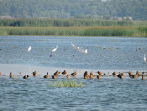 Wild birds in lake Royalty Free Stock Photos