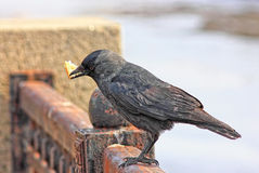 Grey a raven. Stock Photography