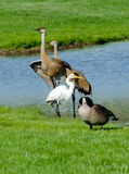 Wild birds in a micihigan pond Royalty Free Stock Photo