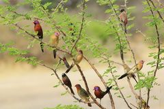 Wild Birds - Nature's box of Magic. A variety of wild gamebirds in a bush next to a watering hole in Namibia, Africa. Species include : Violet-eared Waxbill stock photo