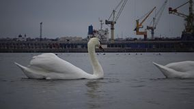 The ecological problem is white swans, ducks and seagulls in the seaport waters. Wild Birds, people, industry. The ecological problem is white swans, ducks and stock video footage