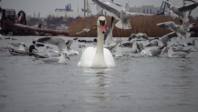 The ecological problem is white swans, ducks and seagulls in the seaport waters. Wild Birds, people, industry. The ecological problem is white swans, ducks and stock footage