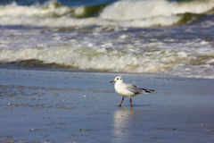 Wild birds on romanian beach Royalty Free Stock Photography
