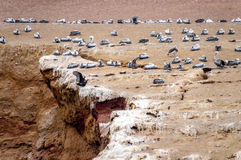 Wild birds and seagull on ballestas island, Peru Stock Photo