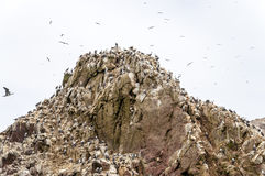 Wild birds and seagull on ballestas island, Peru Royalty Free Stock Photography